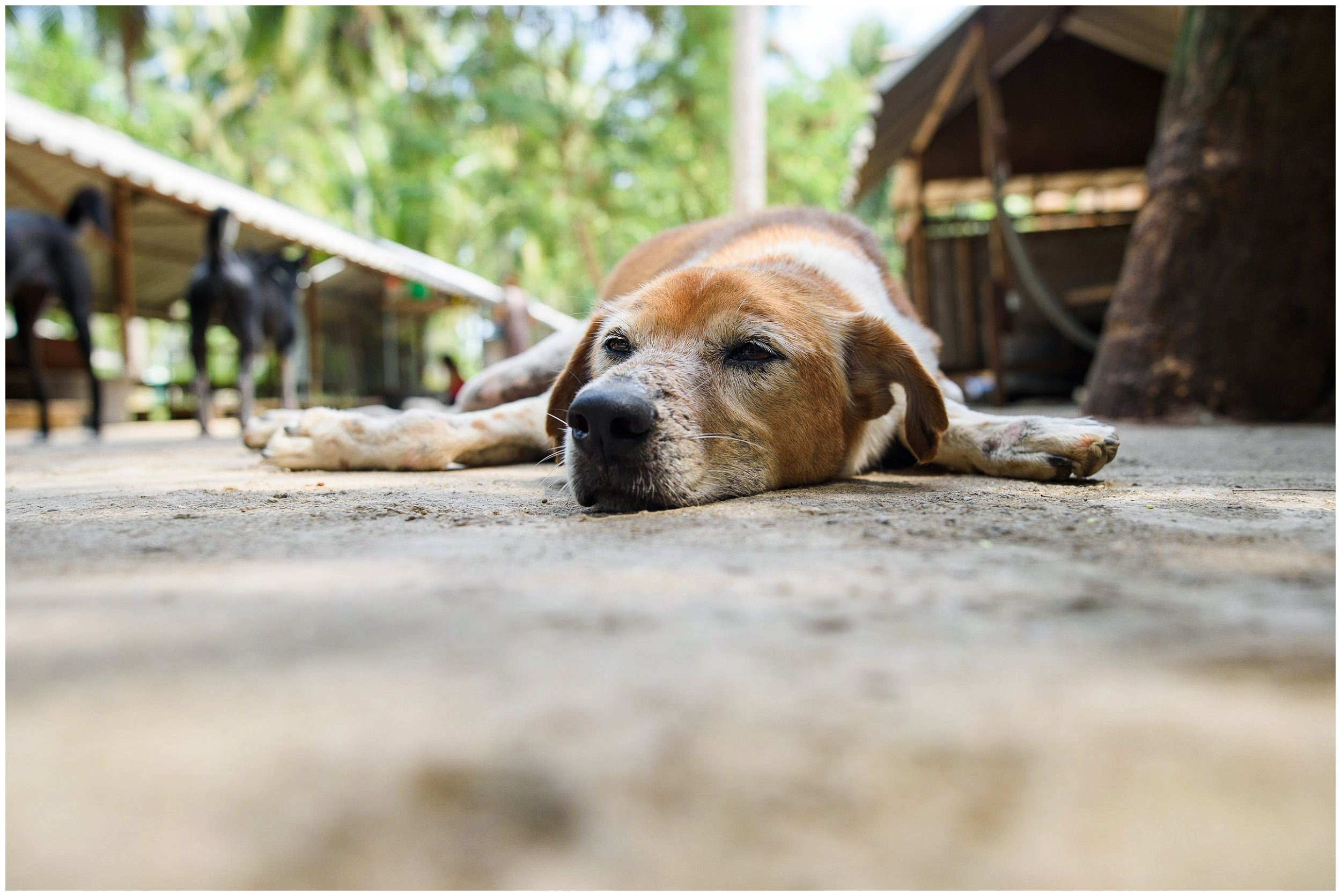 headrock, dogs, rescue, shelter, bang saphan, thailand, straathonden, opvangcentrum