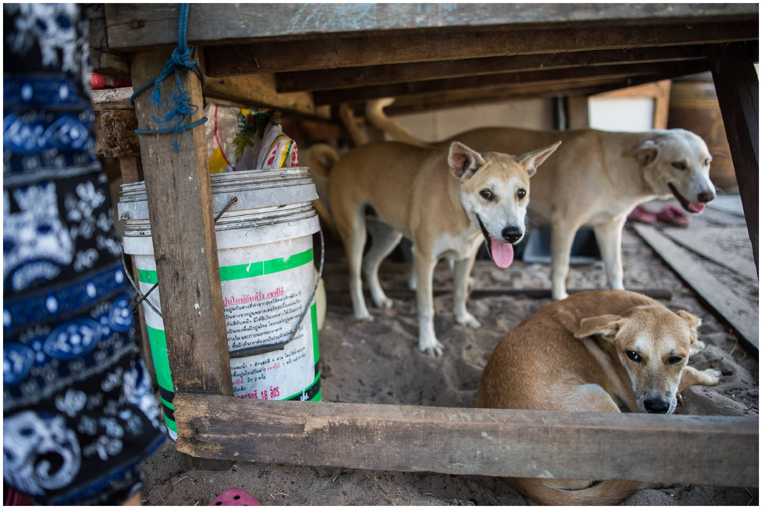 headrock, dogs, shelter, rescue, old, coulple, project, honden, bang saphan, thailand