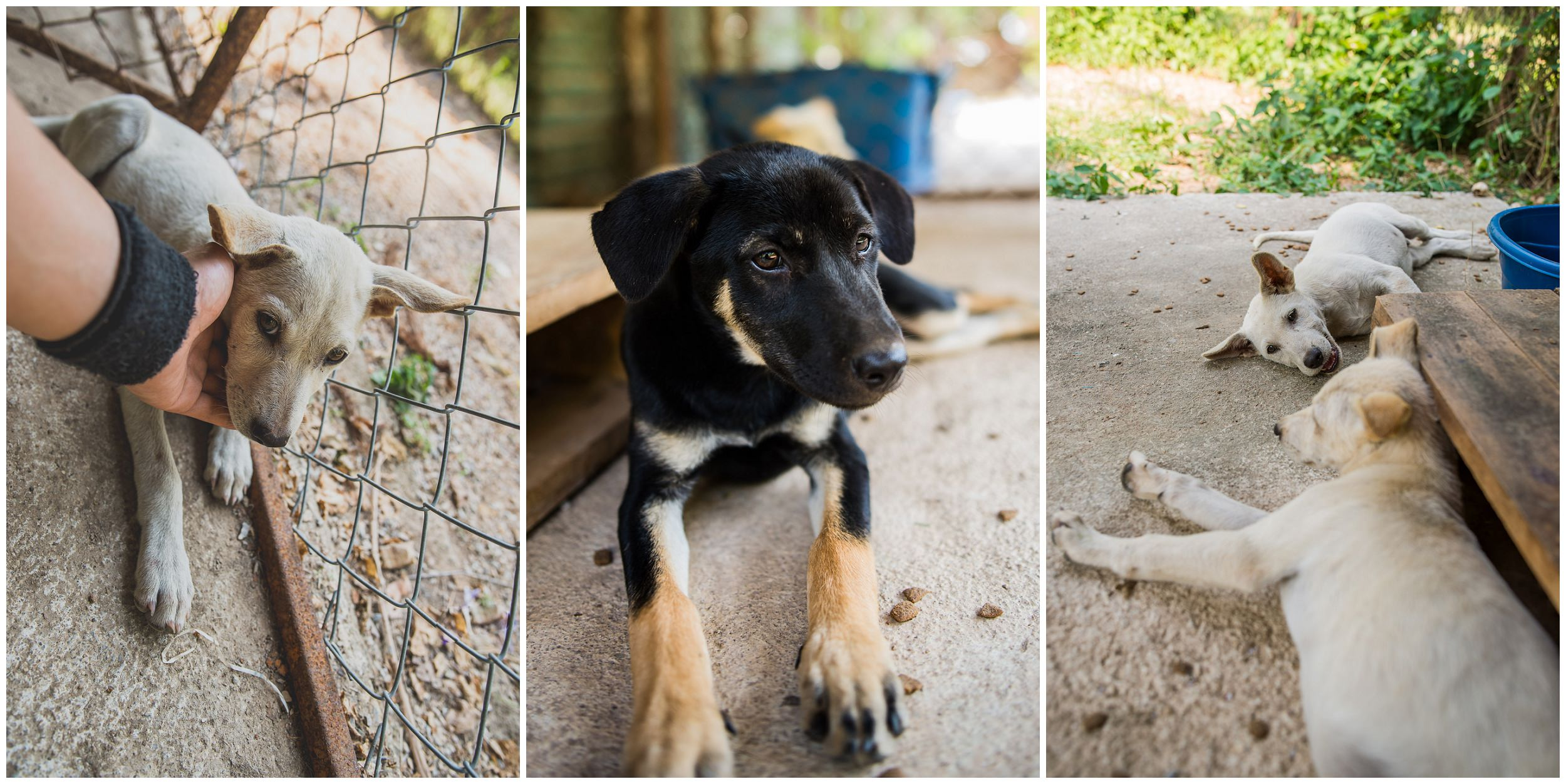 Headrock, dogs, rescue, shelter, puppies, bang saphan, Thailand