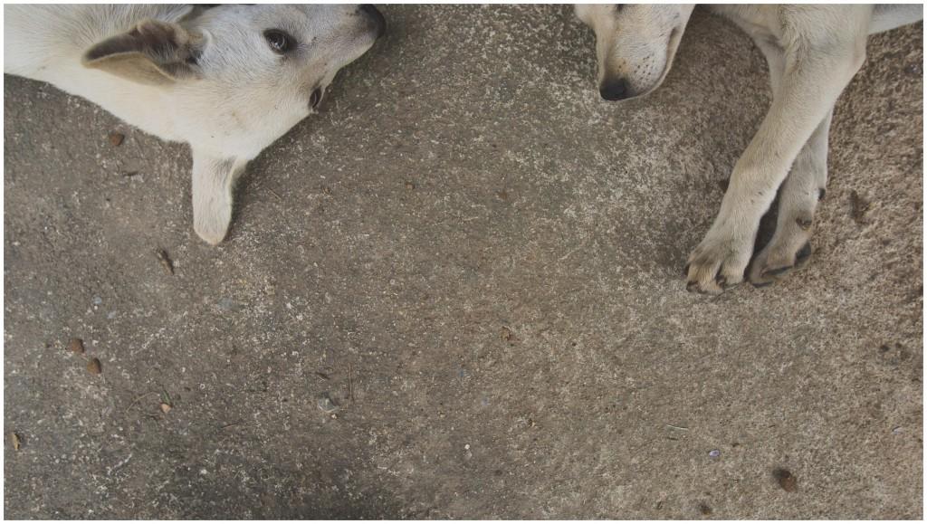 Headrock, dogs, rescue, shelter, puppies, bang saphan, Thailand
